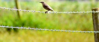 Fågel på taggtråd 2 Arkivbilder