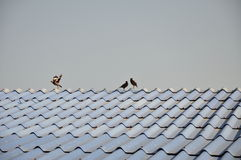 Fågel på taklägga Arkivfoto