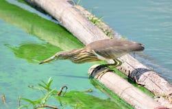 Fågel på timmer, Javan dammhäger fotografering för bildbyråer