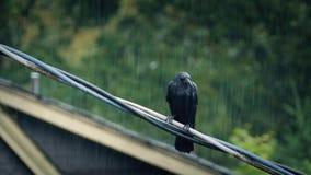 Fågel på tråd i tungt häftigt regn lager videofilmer