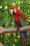 Fågel papegoja (psittacinen) Arkivfoton