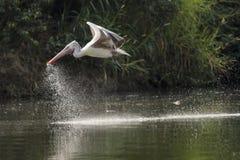 Fågel - pelikan Fotografering för Bildbyråer
