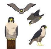 Fågel Peregrine Cartoon Vector Illustration royaltyfri illustrationer