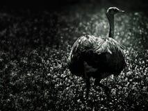 fågel rhea Arkivbilder