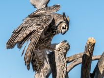 Fågel-rovfåglar i Tucson Arizona royaltyfria bilder