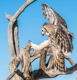 Fågel-rovfåglar i Tucson Arizona arkivbilder