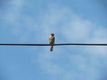 Fågel sätta sig elektrisk tråd Royaltyfria Bilder