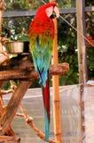 Fågel scharlakansröd ara Royaltyfri Foto
