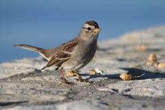 Fågel som är klar att kvittra Fotografering för Bildbyråer