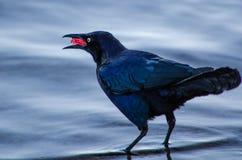 Fågel som äter ett hallon Arkivbilder