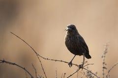 Fågel som äter flugan Arkivfoton