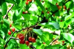 Fågel som äter frukter från trädet arkivfilmer