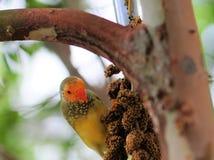 fågel som äter passerinen Arkivbild