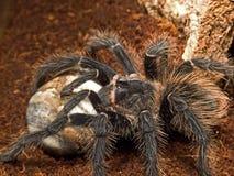 fågel som äter spindeln Fotografering för Bildbyråer