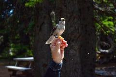Fågel som äter ut ur den mänskliga handen Arkivfoto