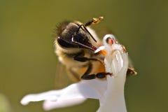 Fågel-som blommor med biet Arkivfoton