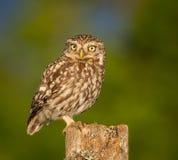 fågel som 3d fäster little över white för skugga för owlbanaframförande ihop Arkivbild