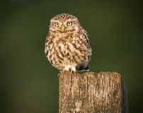 fågel som 3d fäster little över white för skugga för owlbanaframförande ihop Arkivfoton
