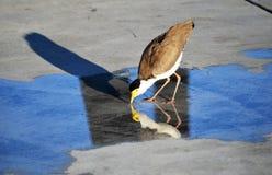Fågel som dricker från en pöl royaltyfria foton
