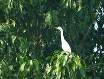 Fågel som en liten vit häger sitter Fotografering för Bildbyråer