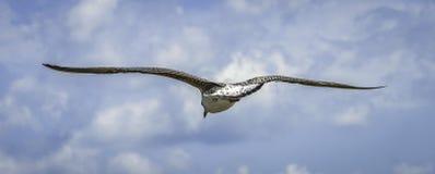 fågel som flyger den rena seagullskyen Arkivfoto