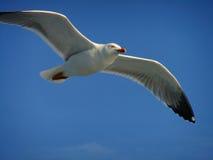 fågel som flyger den rena seagullskyen Royaltyfria Bilder