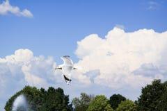 fågel som flyger den rena seagullskyen Royaltyfri Bild