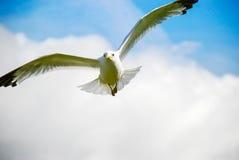 fågel som flyger den rena seagullskyen Arkivfoton