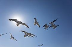 fågel som flyger den rena seagullskyen Fotografering för Bildbyråer