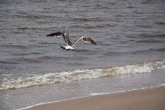 fågel som flyger den rena seagullskyen Royaltyfri Fotografi