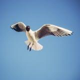 fågel som flyger den rena seagullskyen Arkivbild