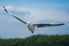 fågel som flyger den rena seagullskyen Royaltyfria Foton