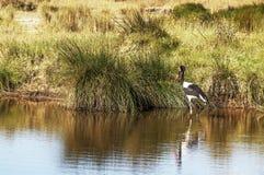 Fågel som går på en sjö Fotografering för Bildbyråer
