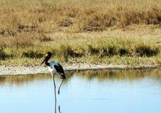 Fågel som går på en sjö Arkivfoto