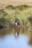 Fågel som går på en sjö Royaltyfria Bilder