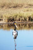 Fågel som går på en sjö Arkivfoton