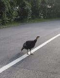 Fågel som går på gatan i sommar Fotografering för Bildbyråer