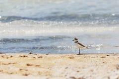 Fågel som går på stranden Arkivbilder