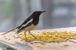 Fågel som har mat Arkivbild