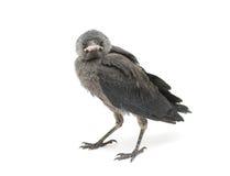 Fågel som isoleras på en vit bakgrund. horisontalfoto. Arkivfoton