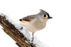 Fågel som isoleras på vit arkivbilder