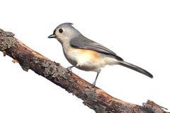 Fågel som isoleras på vit arkivbild