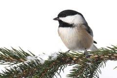 Fågel som isoleras på vit arkivfoto
