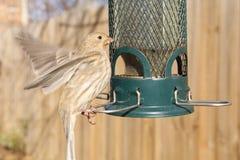 Fågel som matar på trädgårdförlagemataren Arkivbild