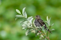 Fågel som sätta sig med suddig grön bakgrund arkivbilder