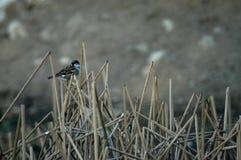 Fågel som sätta sig på brutna cattails Royaltyfri Fotografi