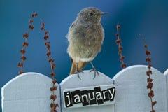 Fågel som sätta sig på ett Januari dekorerat staket arkivfoto