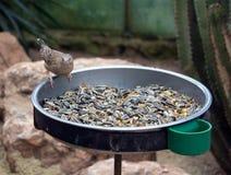 Fågel som sätta sig på fågelförlagematare med frö arkivfoto