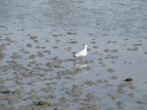 Fågel som söker för mat under ett lågvatten arkivfoton
