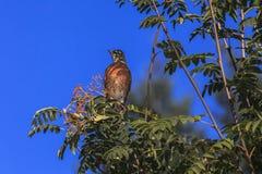 Fågel som samlar bär i träd Royaltyfria Bilder